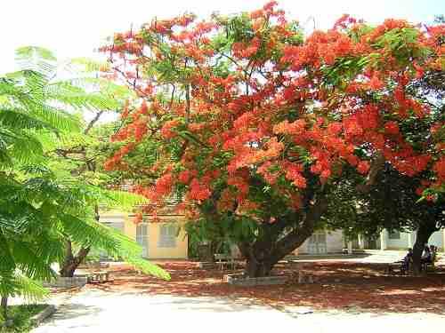 Dàn ý tả cây phượng mùa hè