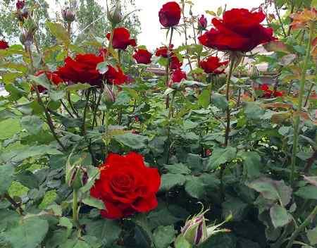 Dàn ý tả cây hoa hồng mà em thích